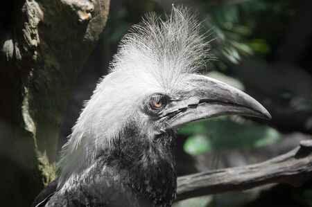 White-crowned Hornbill photo