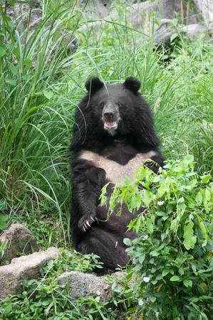 oso negro: oso negro asiático (Selenarctos thibetanus)