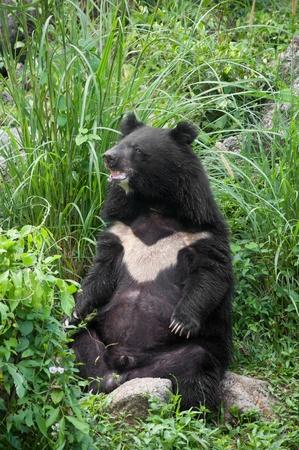 asiatic: asiatic black bear (selenarctos thibetanus)