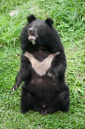 asiatic black bear (selenarctos thibetanus)