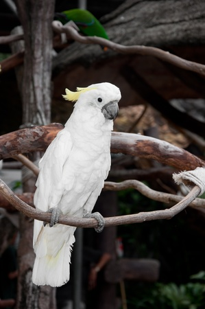 Yellow lesser sulphur-crested cockatoo (Cacatua sulphurea) photo
