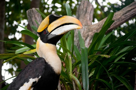 Great Hornbill (Buceros bicornis) Stock Photo