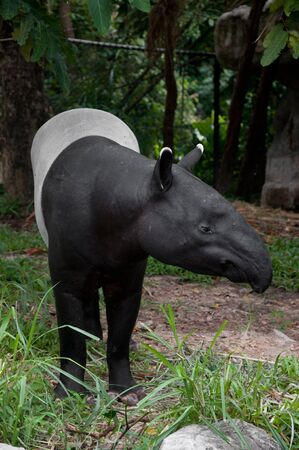 malayan tapir (tapirus indicus) photo