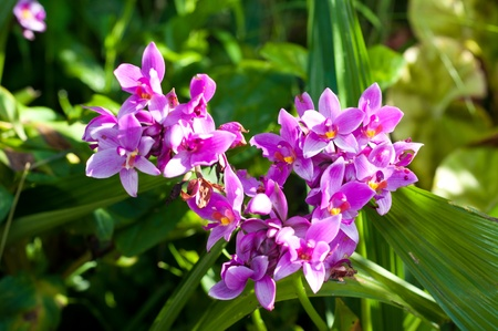 purple Spathoglottis orchid flower photo