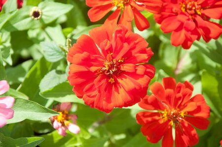 cav: Zinnia flower - Zinnia violacea Cav.