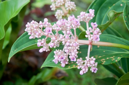 showy: Chandelier tree, Showy melastome, Showy medinilla, Malaysian orchid - Medinilla magnifica Lindl.