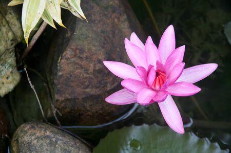 nelumbinis: pink lotus flower in water at garden