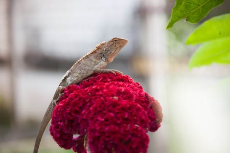 tree lizard on cockscomb flower photo