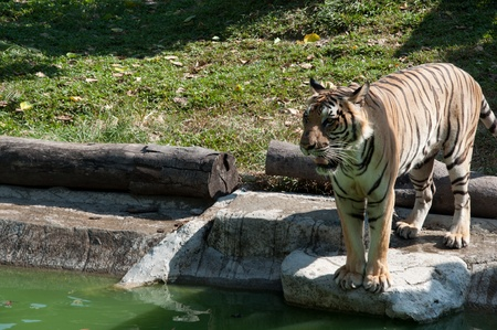Sumatran Tiger Stock Photo - 14207635