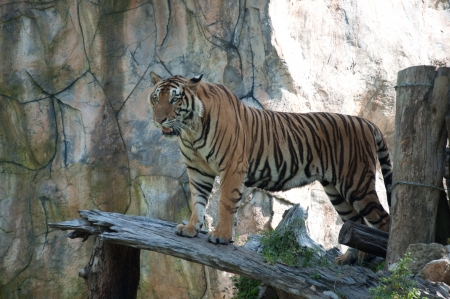 Sumatran Tiger photo