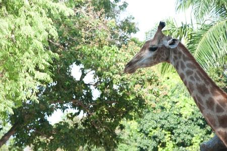 giraffa: giraffe (Giraffa camelopardalis)