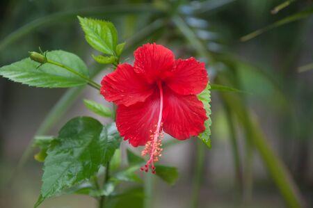rosemallow: Red Hibiscus Flower