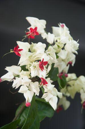 bower: Gloy bower, Bleeding-heart vine flower - Clerodendum thomsoniae Balf.f. Stock Photo