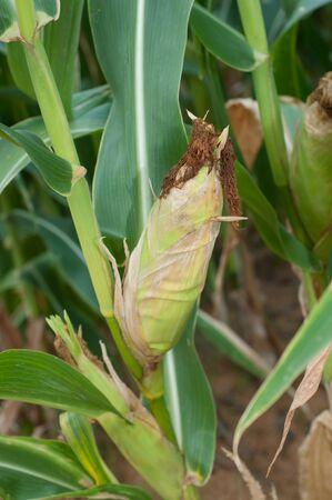 sweet corn platning