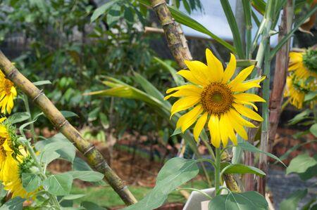 Sun Flower planting Stock Photo - 15506698