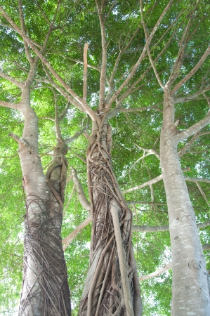 big banyan tree with beautiful roots Stock Photo - 15641933