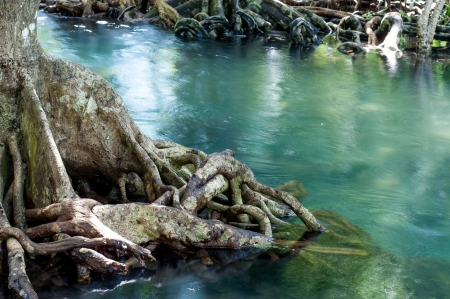 natural tree roots at Tapom two water canal in krabi, thailand Stock Photo - 17006573