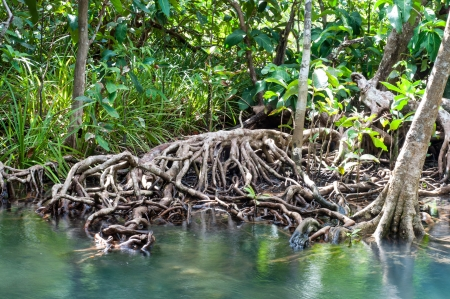 hugh: natural tree roots at Tapom two water canal in krabi, thailand Stock Photo