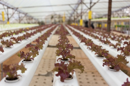 hydroponics: Hydroponics vegetable in Green House Stock Photo