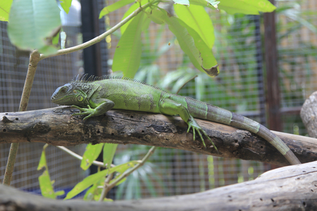Green Iguana in cage Stock Photo