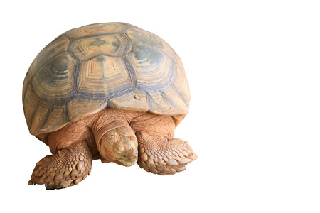 Sulcata are the third largest tortoise species in the world