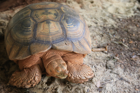 sulcata: Sulcata are the third largest tortoise species in the world