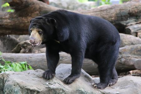 snoot: Malayan sun bear, Honey bear (Ursus malayanus)