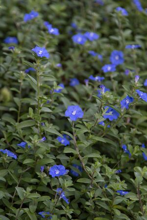 greeen: Blue forget-me-not small flower nature in garden Stock Photo