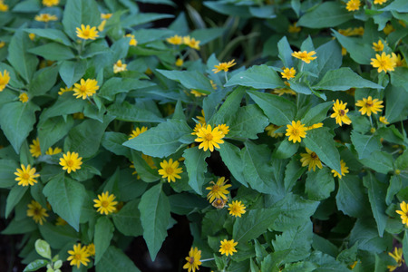 yellow star: Little yellow star flower in nature