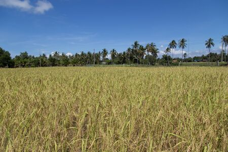 Rice field at koh sukorn island in Trang, Thailand Stock Photo