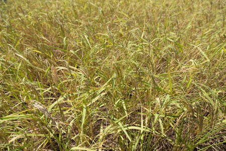 Rice field closeup background Stock Photo