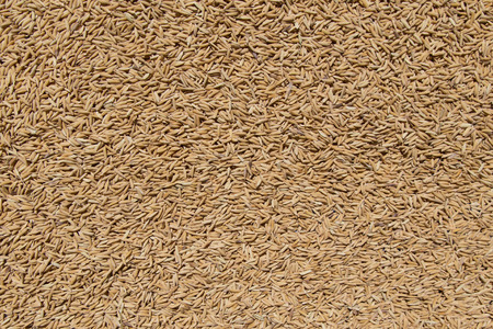 Golden Paddy Rice Seeds Background texture