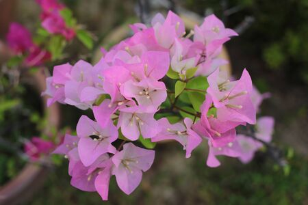 pink Bougainvillea flower in nature