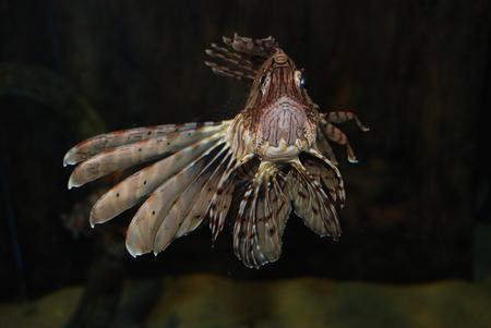 Devil Firefish in aquarium, durban South Africa Stock Photo