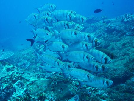 School of Big eye fish, Sodwana Bay Kwazulu Natal South Africa