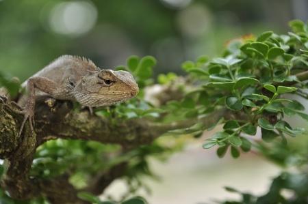 Close-up Common garden lizard on bonsai trees Stock Photo - 9974253