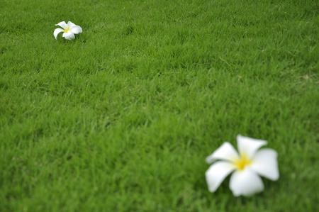 White frangipani flower on the green grass Stock Photo - 9974258