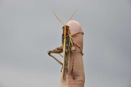 Grasshopper perched on a finger photo