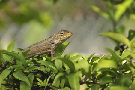 Common garden lizard on leaves photo