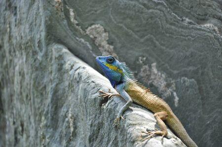 Common garden lizard on stone Stock Photo - 9974367