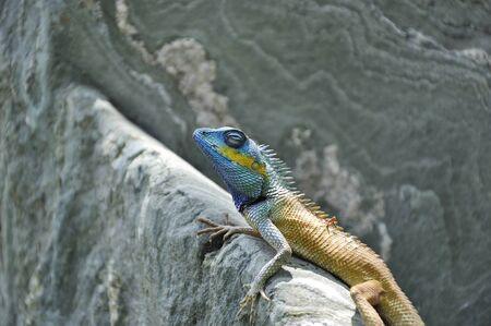 garden lizard on stone photo