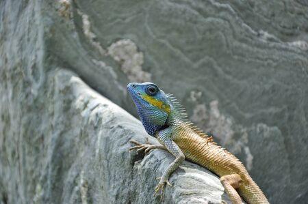 lizard on stone photo