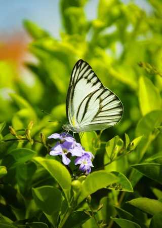 live again: White butterfly on purple flowers
