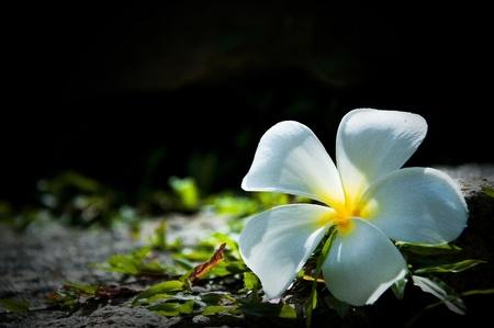 frangipani flower on stone photo