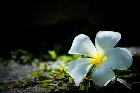 live again: frangipani flower on stone