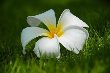live again: frangipani flower on green grass Stock Photo