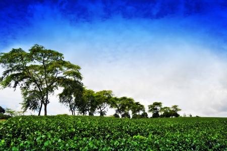 loc: Tea plantation in Bao Loc, vietnam