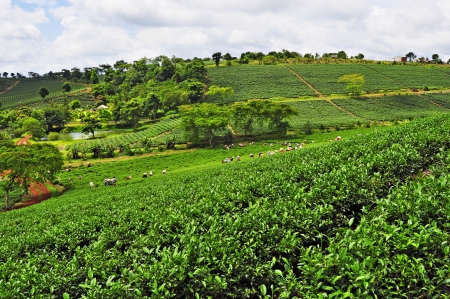 agricultural farm land: Tea plantation in Bao Loc, vietnam