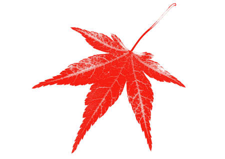Red leaf on white background photo