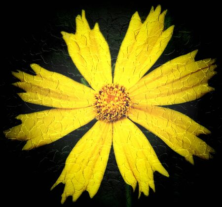 Yellow cosmos on a black background  photo